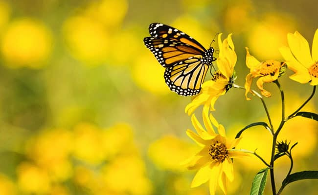 Western Monarchs Are Continuing to Disappear At An Alarming Rate