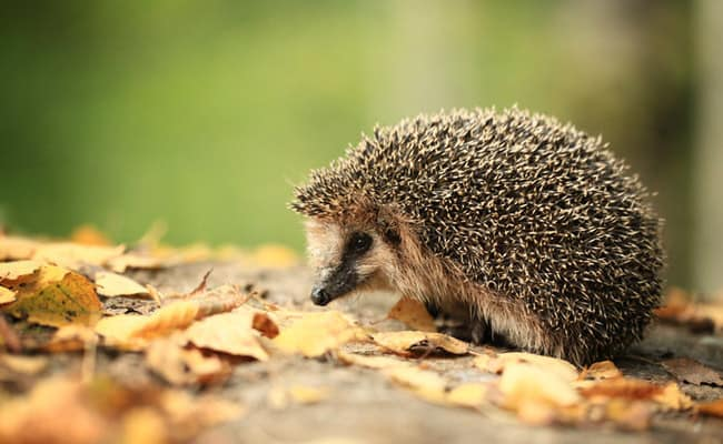Half of Britain's Hedgehogs Have Disappeared, But There's Still Hope