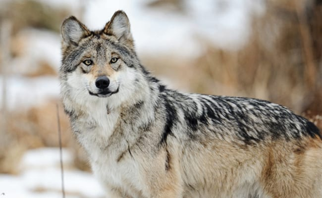Conservationists Sue to Save Mexican Wolves From Extinction