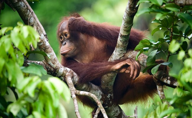 Borneo Lost Half of its Orangutans in Just 16 Years