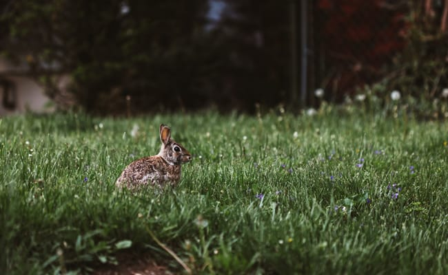 Why Is New Zealand Releasing a Rabbit-Killing Virus?