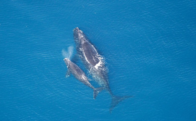 No Calves This Year Means Right Whales Are Closer to Extinction