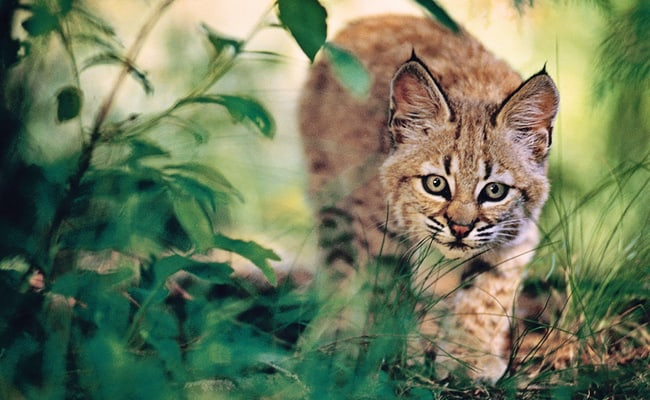 POLL: Should Bobcats be kept on the Endangered Species List?