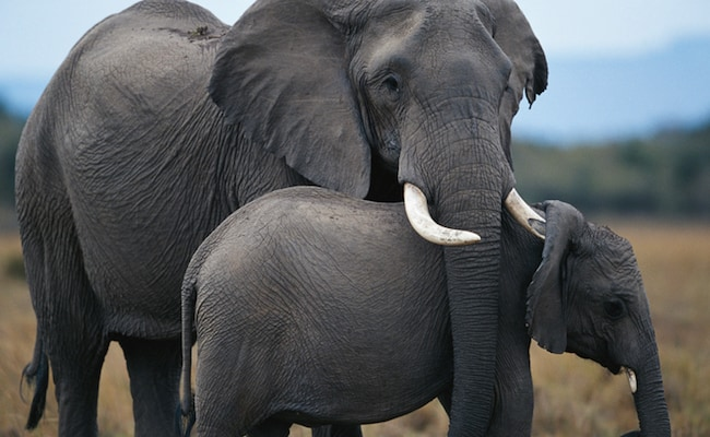 Trump Backtracks on Elephant Trophy Ban – This Must Be Stopped