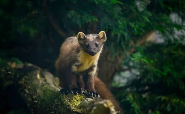 Pine Martens Could Save the UK's Red Squirrel Population