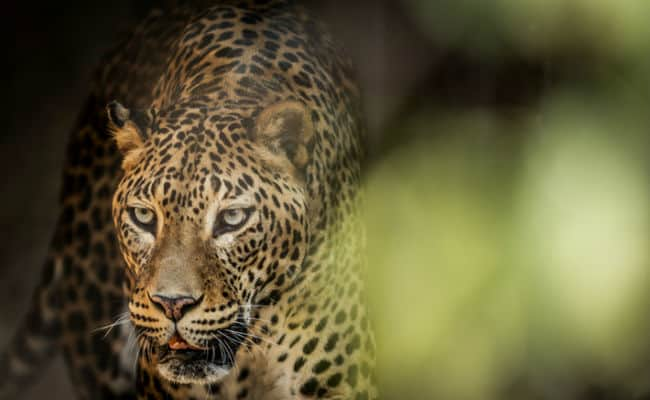 Urban-Dwelling Leopards May Be Protecting Humans From Rabies