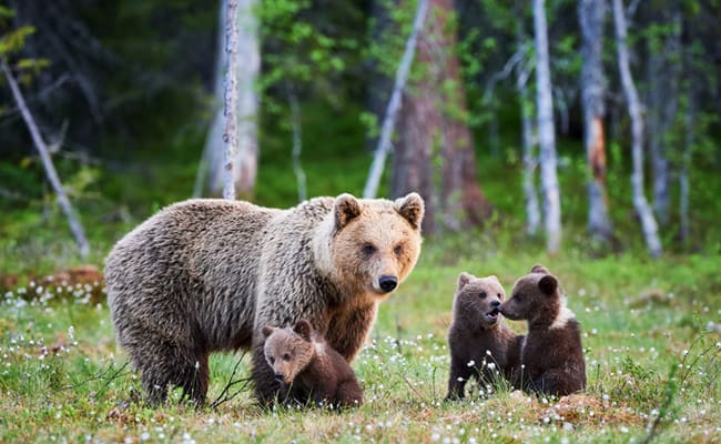 POLL: Should Wyoming abandon its plans for a Grizzly Bear trophy hunt?