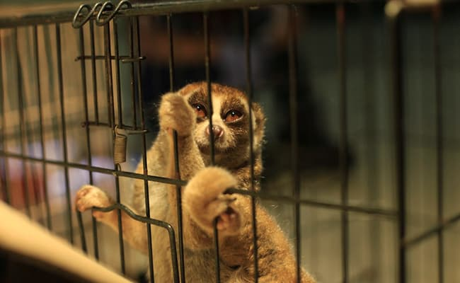 Slow Loris Traffickers Get Historic Sentences in Indonesia