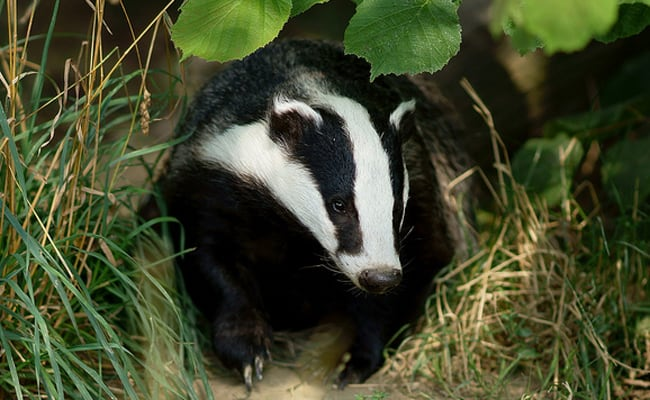 POLL: Should Theresa May end the cruel and ineffective badger culls?