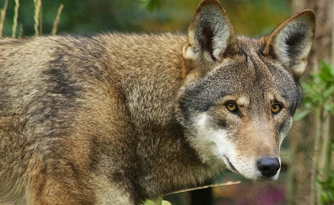 POLL: Should wildlife officials maintain red wolf recovery efforts?