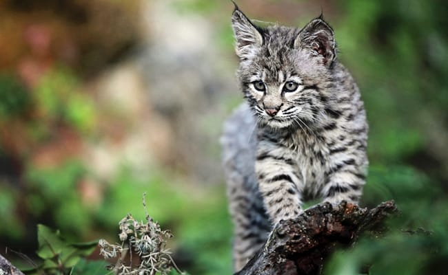 Victory! Bobcats Are Protected From Hunting and Trapping in Indiana