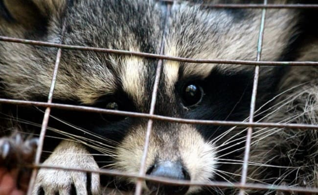 Video: Florida Teacher Resigns After Making Students Drown Raccoons