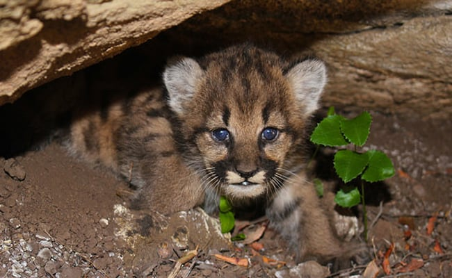 Mountain Lion Cubs Discovered in California Mountains Bring Hope