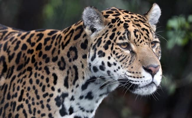 Shocking Investigation Exposes the Black Market for Jaguars