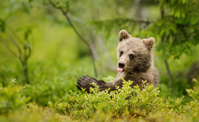 Victory! Yellowstone's Iconic Grizzlies Get Endangered Species Protection Back