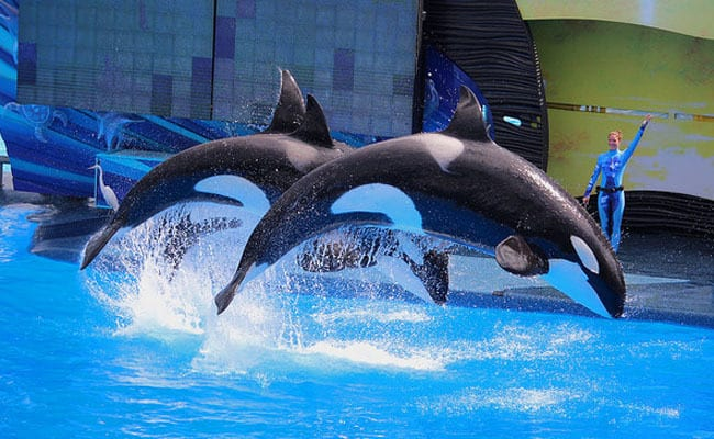 POLL: Should the use of Orcas in entertainment be banned?