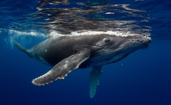 Ocean Noise is So Loud, Humpback Whales Stop Singing