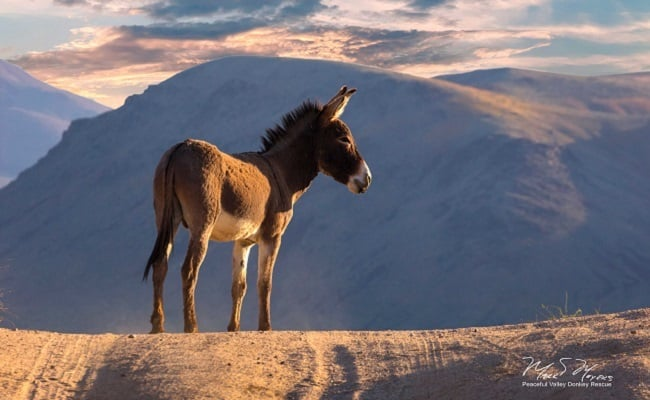 POLL: Should Death Valley's iconic burros be rounded up and slaughtered?