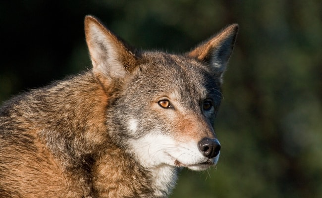 Plan Dooming Red Wolves to Extinction Just Got Major Public Opposition