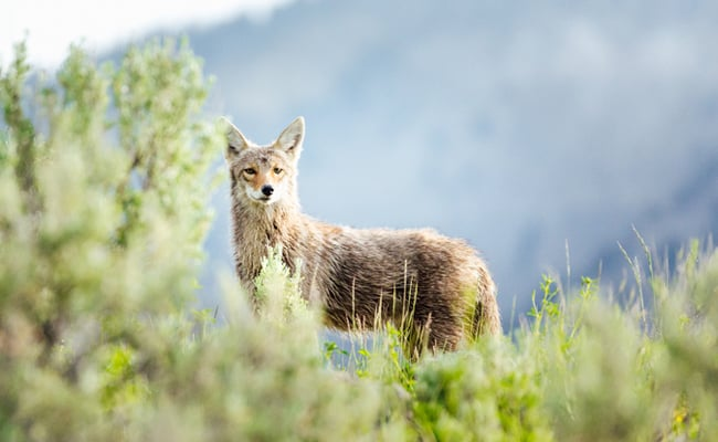 POLL: Should Cruel Coyote Killing Contests Be Banned?