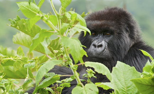 Conservation Efforts are Paying off for Fin Whales, Gray Whales and Mountain Gorillas