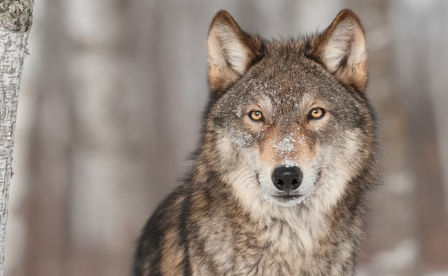 POLL: Should the legal protections for the gray wolf be maintained?