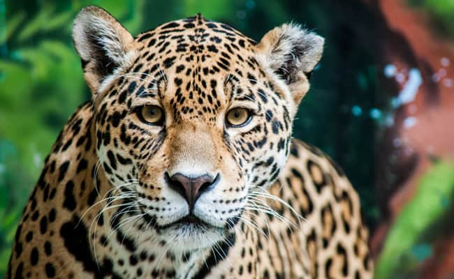New Roadmap Launched to Save Latin America's Iconic Jaguars