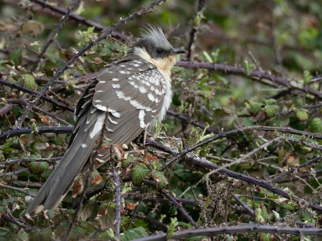 Great Spotted Cuckoo at Wheeler's Bay
