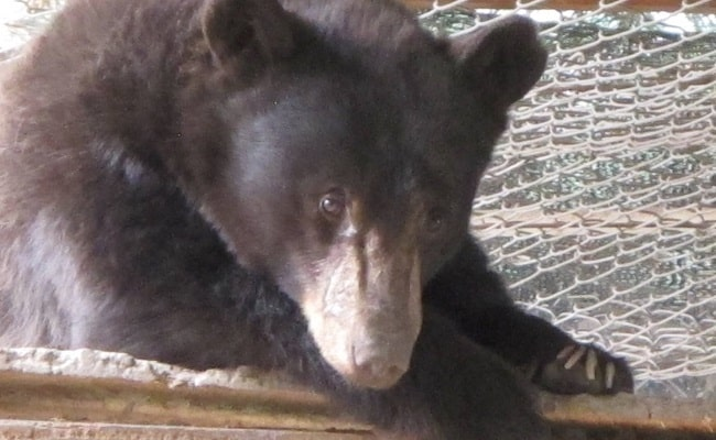 Cinder the Bear Was Tragically Killed by a Hunter, After Famously Surviving a Wildfire