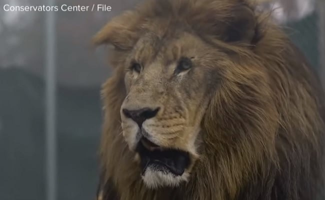 Lion Killed After Fatally Mauling Intern at North Carolina Wildlife Facility