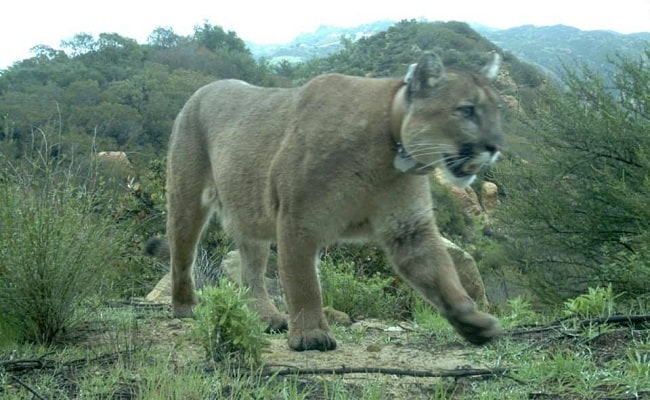 Petition: Yet Another Mountain Lion Has Been Killed by Rat Poison