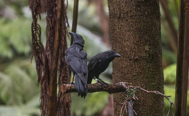 Critically Endangered Hawaiian Crows Build First Nest in Decades