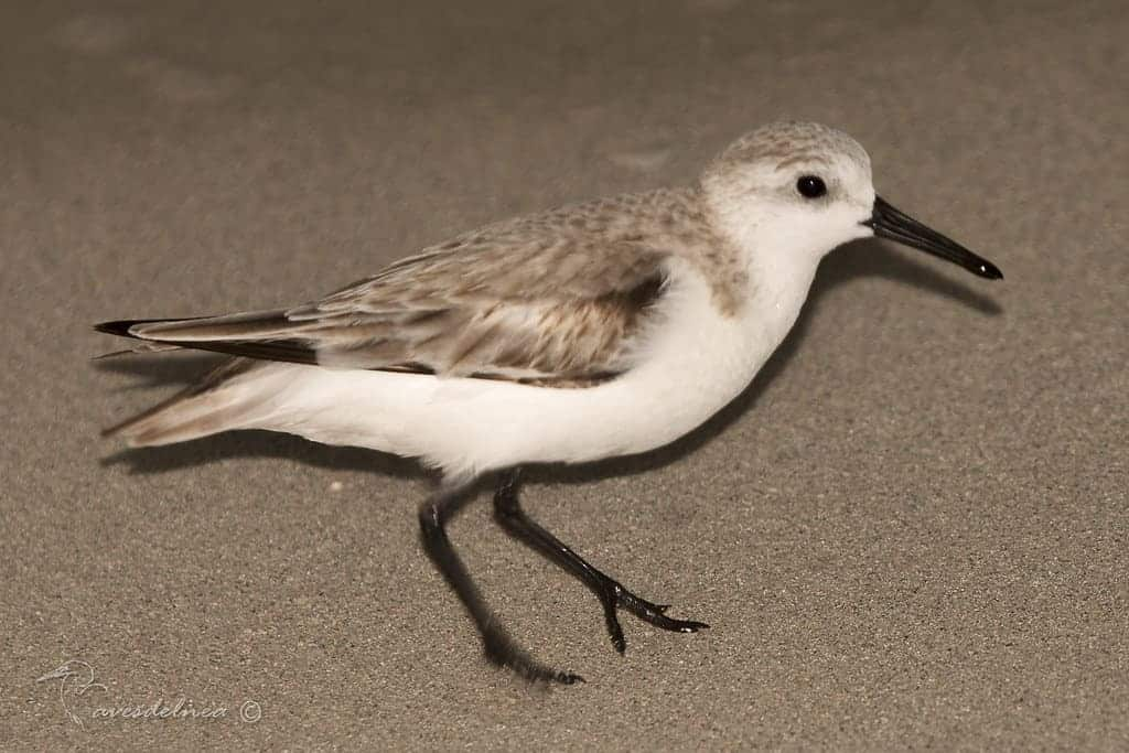 Playerito Blanco – Sanderling – Calidris alba (Pallas, 1764)