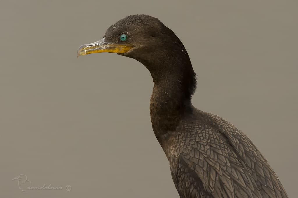 Biguá (Neotropic Cormorant) Phalacrocorax brasilianus