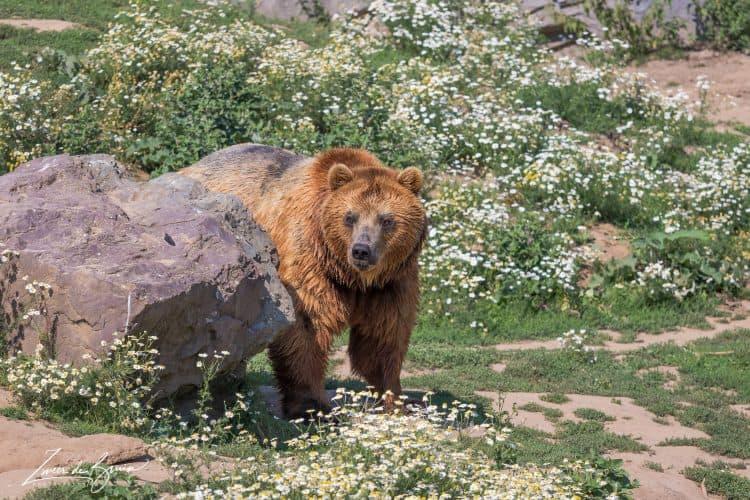 Where has the Berlin Bear Gone?