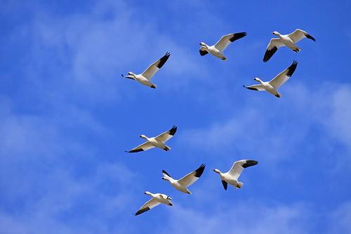 Berkeley Pit Goose Die-off