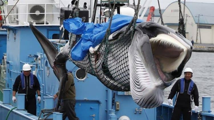 Japan's whalers bring home first commercial catch in 31 years