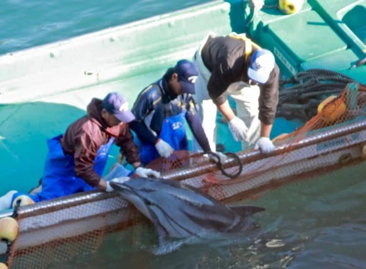 5 Ways You Can Help End the Dolphin Slaughter in Taiji, Japan