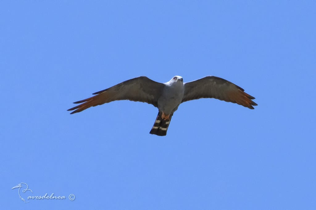 Milano plomizo (Plumbeous Kite) Ictinia plumbea