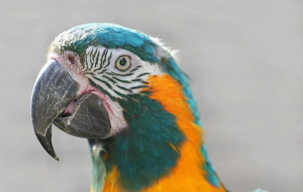 A new hope for the Blue-throated Macaw