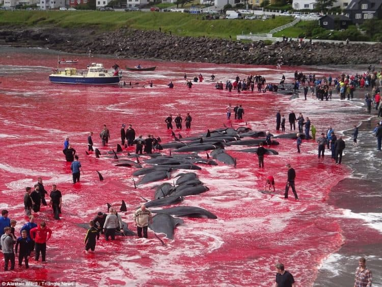 POLL: Should the Faroe Islands be sanctioned for continuing to slaughter whales?