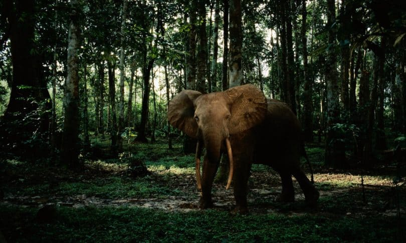 'Paradise and hell': the battle to save the forest elephant
