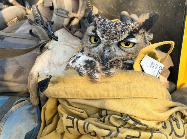 Firefighters Rescue Great Horned Owl from Ashes of California Wildfire