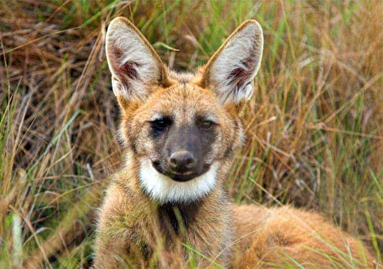 The Maned wolf: saving South America's unfortunately-named canid