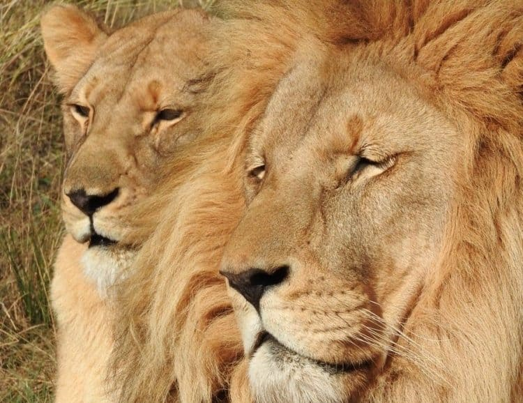 Four lions, dubbed the 'Pride of Tshwane', found hacked to death in reserve