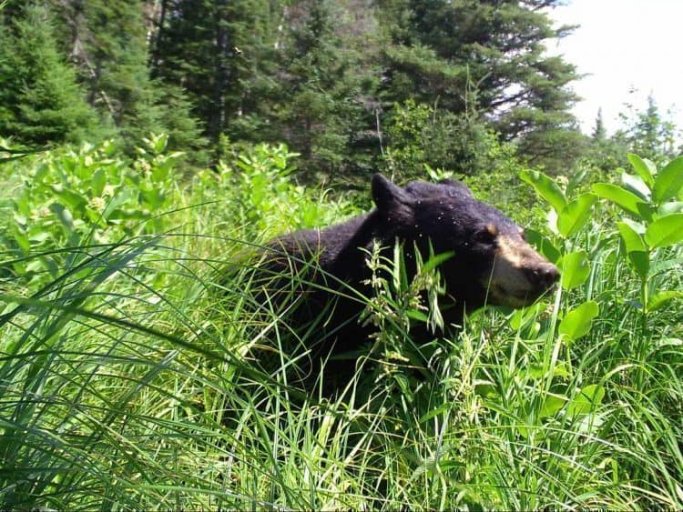 POLL: Should the Black Bear 'Harvest' Season In Wisconsin be banned?