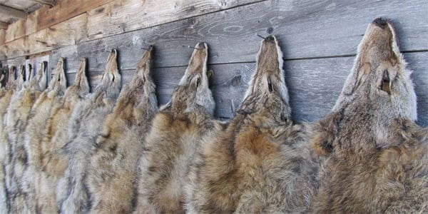 California Bans Fur Trapping!