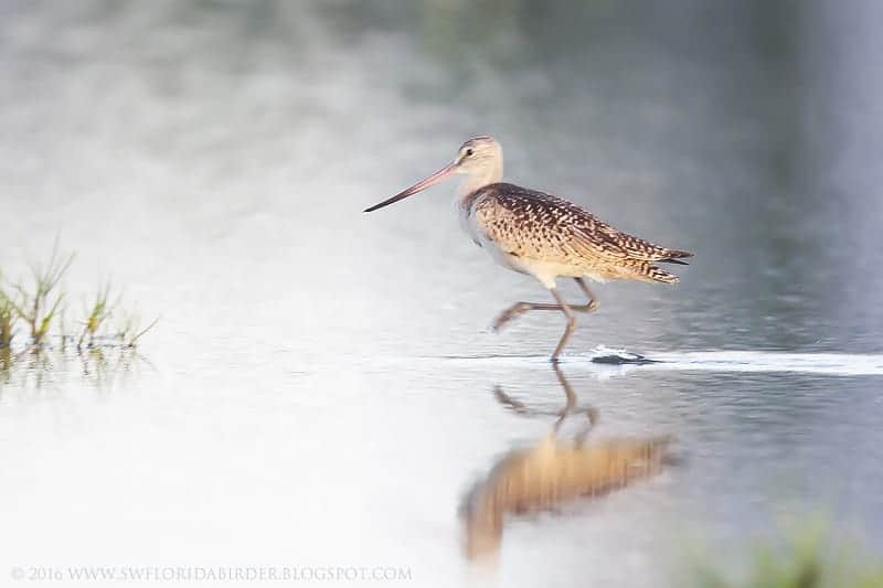 Whimbrel At Carlos Pointe: Part I