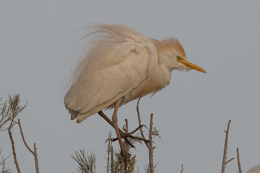 Last remaining Western Cattle Egrets – Dhahran Hills