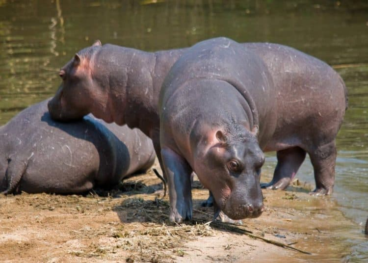 Limpopo: Two hippos shot dead after attacking 'illegal immigrant'